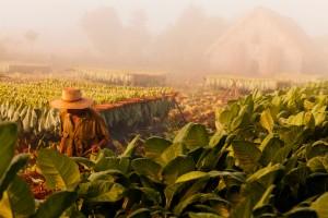 Tobacco-farming-Vinales