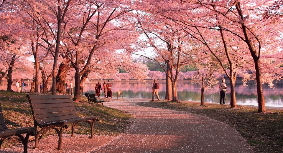 Cherry+Blossom+Path_forWeb