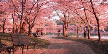 Snart dax för årets Cherry Blossom Festival i Washington DC!